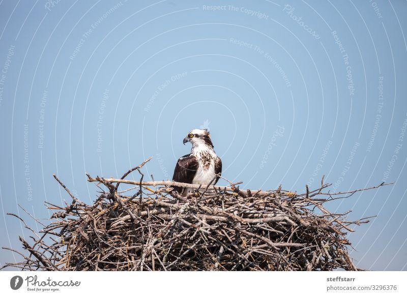 Weiblicher Fischadler Pandion haliaetus Natur Tier Wildtier Vogel 1 braun weiß Seefahrer Raptor Nest Bussard Greifvogel Marcoinsel Florida Tierwelt Wildvogel