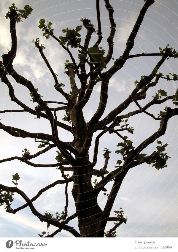 Baum in Minden Natur Himmel Pflanze Wolken Holz
