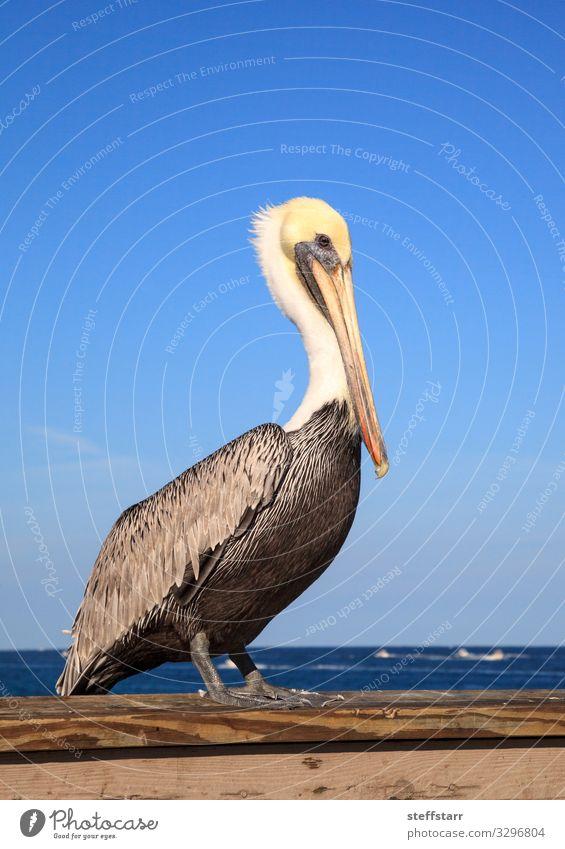 Natur blau weiß Meer Tier Küste Vogel braun Wildtier Blauer Himmel Schnabel Entenvögel Florida Pelikan Barsch Wildvogel