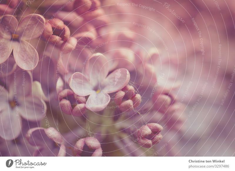 Flieder Blüten in zart rosa und violett. Nahaufnahme Fliedermakro Fliederblüten Frühling Mai Muttertag Frühlingsblüte Natur Pflanze Sträucher Fliederbusch