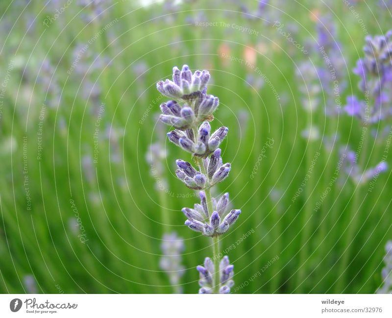 Lavendel grün blau Pflanze Blüte Halm Samen Heilpflanzen