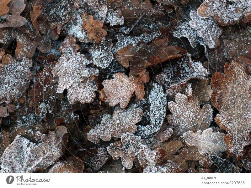 Gefrorene Blätter Umwelt Natur Erde Herbst Winter Klima Wetter Eis Frost Blatt Eichenblatt Herbstlaub Garten Park Wald frieren liegen alt ästhetisch natürlich