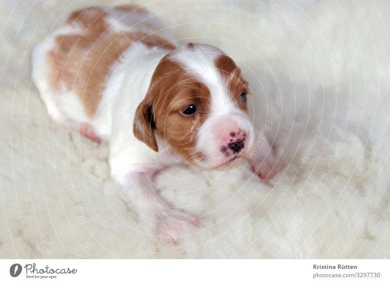 neugierig Haustier Hund Tiergesicht 1 Tierjunges kuschlig klein Neugier niedlich weich rot weiß Welpe portrait zucht aufzucht Nachkommen Reinrassig Kuscheln