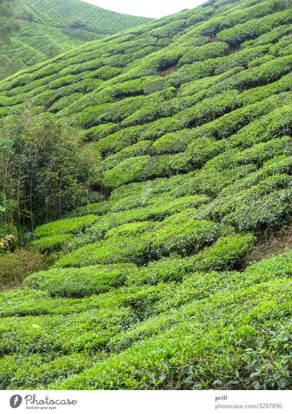 Tea plantation in Malaysia Berge u. Gebirge Landwirtschaft Forstwirtschaft Landschaft Pflanze Sträucher Feld Hügel saftig grün Teeplantage cameron highlands