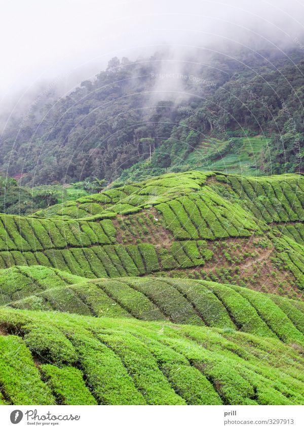 Tea plantation in Malaysia Berge u. Gebirge Landwirtschaft Forstwirtschaft Landschaft Pflanze Nebel Sträucher Feld Hügel saftig grün Teeplantage
