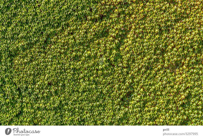 ivy overgrown wall Natur Pflanze Efeu Blatt Mauer Wand grün gemeiner efeu anhaftend Kletterpflanzen bewachsen dicht sonnig Wein Botanik natürlich formatfüllend