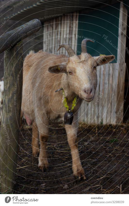 Neugierige Ziege schaut in die Kamera Landwirtschaft Forstwirtschaft Tierhaltung Dorf Landleben Natur Nutztier Ziegen 1 nähern beobachten nah natürlich niedlich