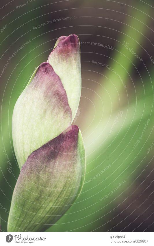 Restposten Umwelt Natur Frühling Sommer Schönes Wetter Pflanze Blatt Blüte Grünpflanze exotisch Blühend Duft natürlich grün violett rosa Gedeckte Farben