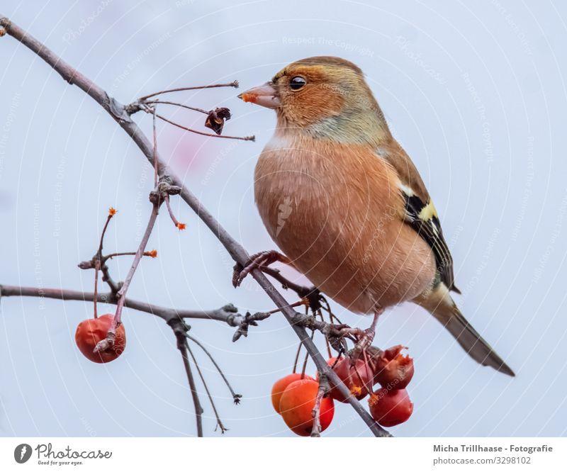 Fressender Buchfink im Baum Natur Pflanze Tier Himmel Sonnenlicht Schönes Wetter Beeren Zierapfel Zweige u. Äste Wildtier Vogel Tiergesicht Flügel Krallen Fink