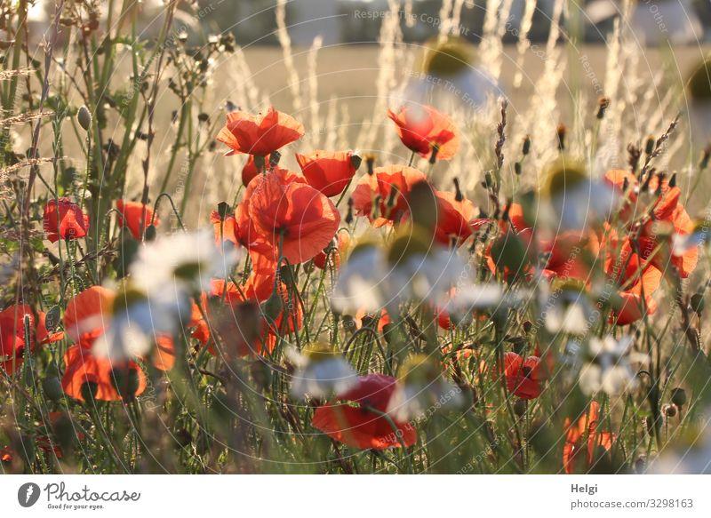Mohnblumen, Margariten und Gräser im Gegenlicht Umwelt Natur Pflanze Sommer Schönes Wetter Blume Gras Blüte Wildpflanze Mohnblüte Feld Blühend leuchten Wachstum