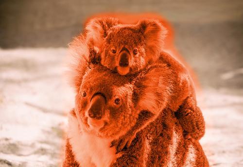 Baby-Koala kletterte auf den Rücken von Mama Koala in rot Ferien & Urlaub & Reisen Ausflug Abenteuer Familie & Verwandtschaft Menschengruppe Natur Tier Baum
