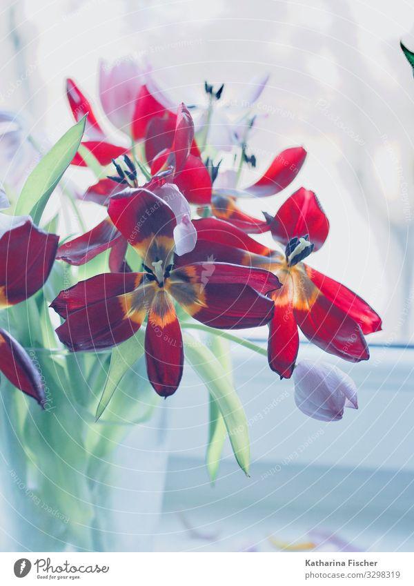 Tulpengruss in rot Pflanze Frühling Sommer Herbst Winter Blume Blatt Blüte Blühend Wachstum gelb grün violett orange rosa türkis weiß Tulpenblüte Tulpenknospe