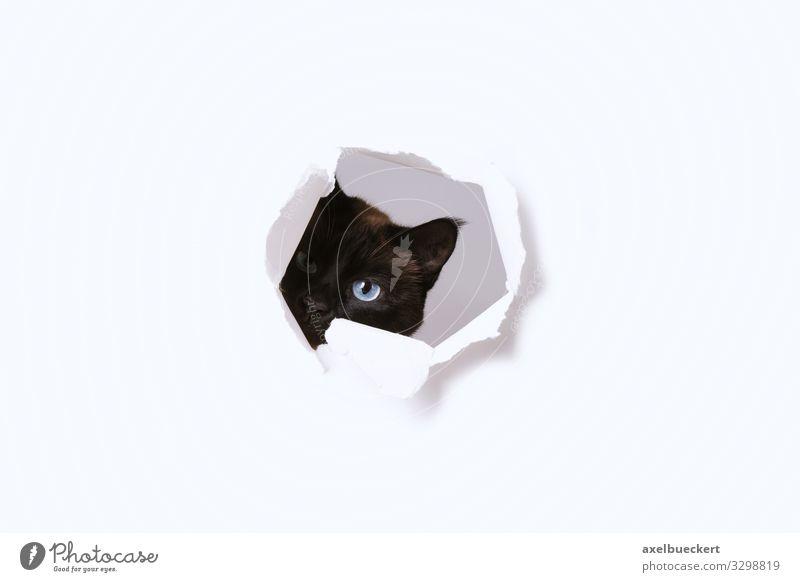 neugierige Katze spioniert Tier lustig Spielen niedlich Papier beobachten Neugier Haustier Loch Überwachung spionieren Starrer Blick