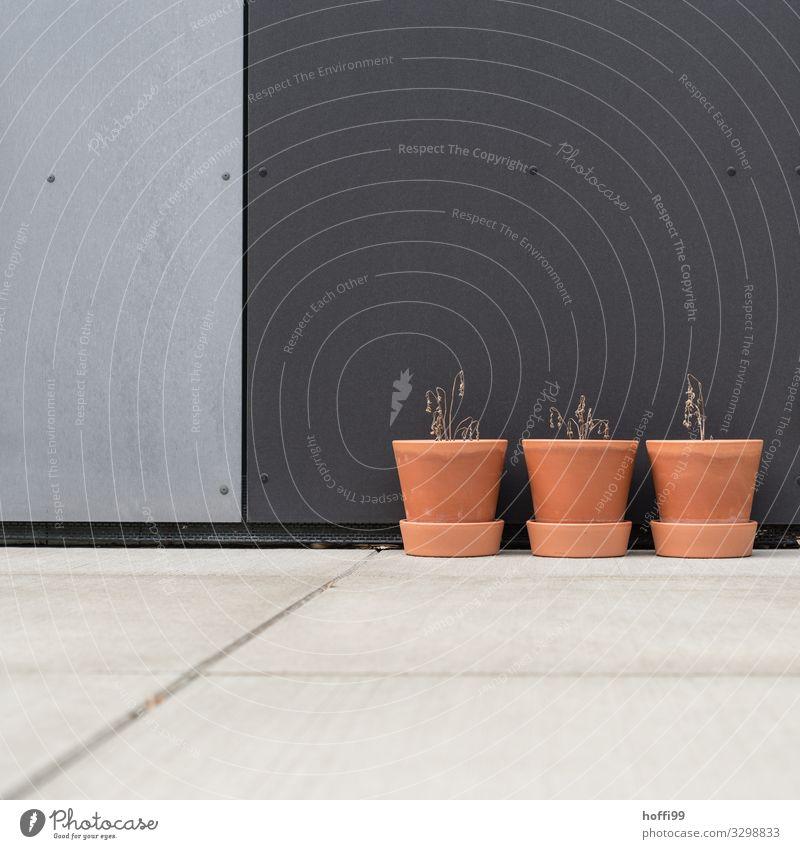 drei vertrocknete Topfpflanzen mit Tomaten vor urbaner Fassade Klimawandel Wärme Dürre Nutzpflanze Gebäude Mauer Wand Blumentopf ästhetisch dünn kaputt