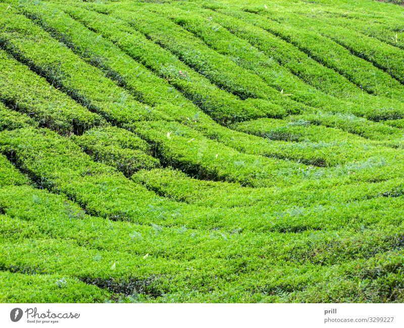 Tea plantation in Malaysia Landwirtschaft Forstwirtschaft Landschaft Pflanze Sträucher Feld Hügel saftig grün Teeplantage cameron highlands pahang tee pflanzung