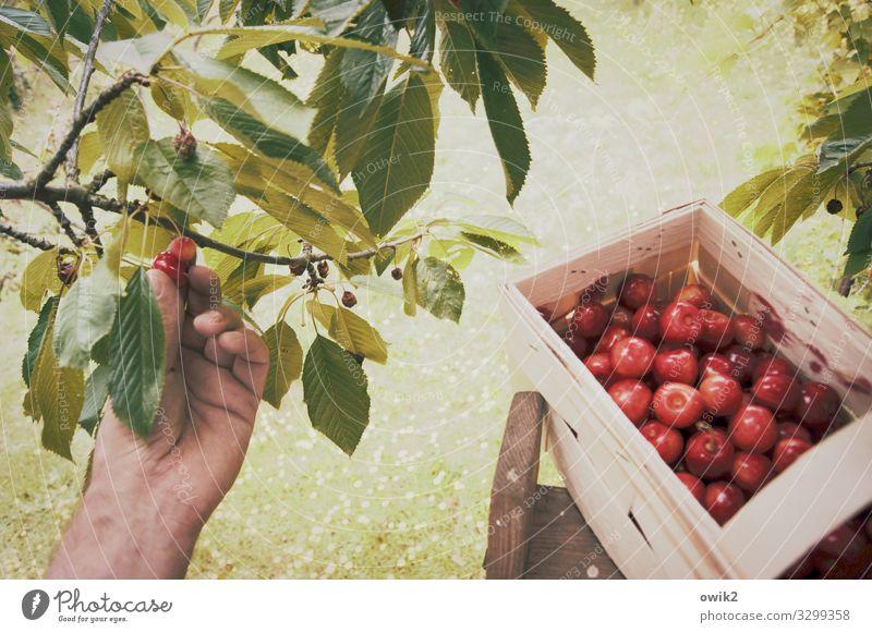Nachlese Natur Sommer Pflanze grün rot Hand Baum Umwelt natürlich Gras Garten Frucht Arbeit & Erwerbstätigkeit süß frisch glänzend