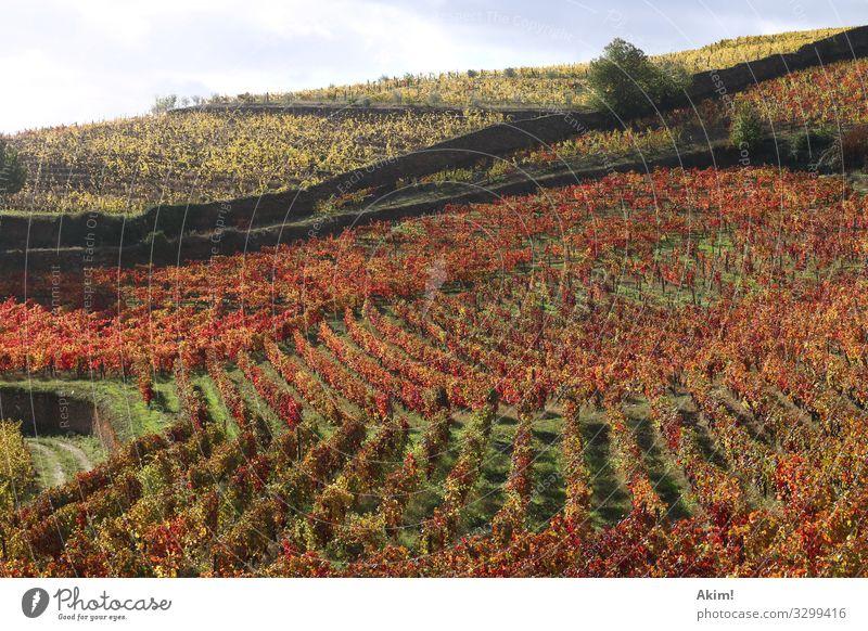 Tribüne des Weins Landschaft Tier Herbst Nutzpflanze Hügel genießen trinken wandern außergewöhnlich Gesundheit natürlich gelb orange rot Stimmung ästhetisch