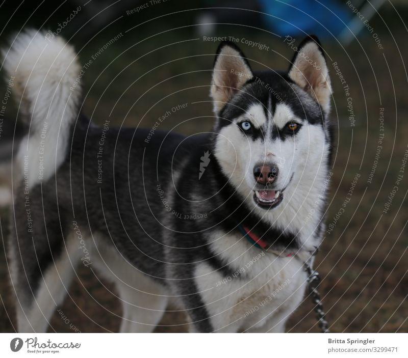 ein treuer Freund, mein Husky Freizeit & Hobby Ferien & Urlaub & Reisen wandern Fitness Sport-Training Erfolg Veranstaltung Hund 1 Tier beobachten füttern