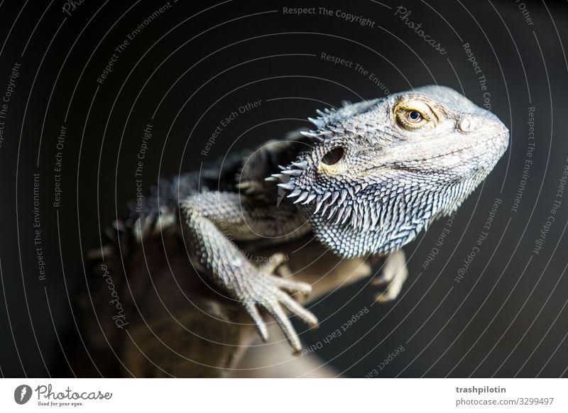 Bartagame Tier Haustier Bart-Agame Echsen Reptil 1 krabbeln Farbfoto Kunstlicht