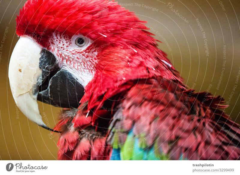 ARA Tier Haustier Wildtier Ara Papageienvogel Rotbrustara füttern rot Farbfoto