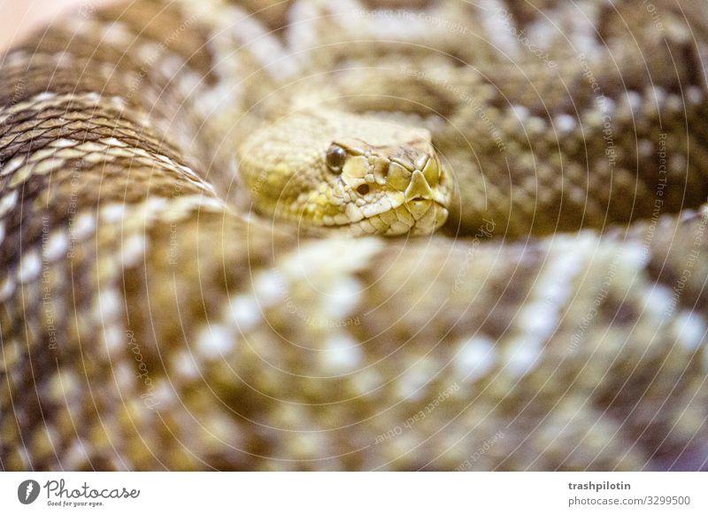 Kobra Schlange Fressen Gift bedrohlich Vorsicht Farbfoto Unschärfe Schwache Tiefenschärfe
