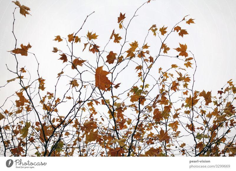 last leaves Natur Pflanze Herbst Wind Baum Blatt Ahornblatt Bewegung Tanzen Farbfoto Außenaufnahme Tag