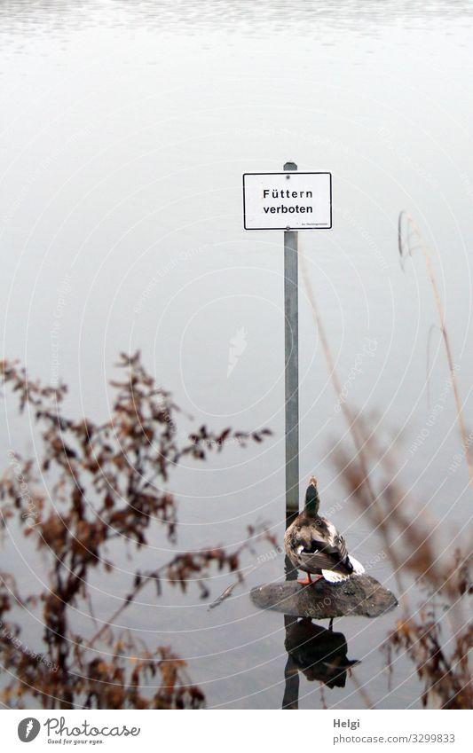 Ente schaut ungläubig auf das Schild Füttern verboten Umwelt Natur Landschaft Pflanze Tier Wasser Winter Nebel Gras Sträucher Zweig Seeufer Wildtier 1 Metall