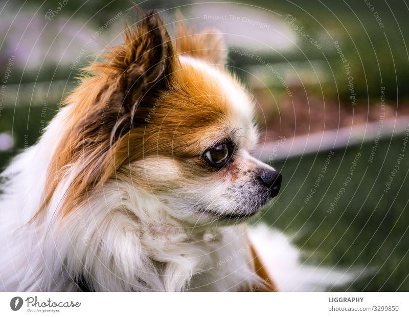 Der Chihuahua. Tier Haustier Hund 1 füttern laufen Liebe verkaufen Aggression Bekanntheit Coolness gut braun Tatkraft Geborgenheit Wachsamkeit