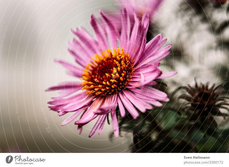 Makro einer Aster Blume rosa Astern Blühend Pflanze Blütenblatt schön Natur Herbst natürlich Außenaufnahme Garten violett Makroaufnahme Dekoration & Verzierung