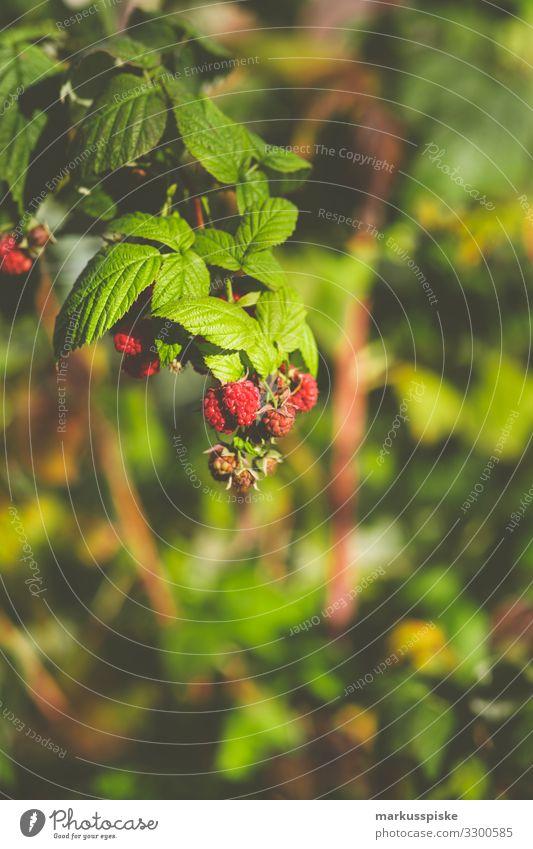 Frische Bio Himbeeren Natur Gesunde Ernährung Pflanze rot Gesundheit Lebensmittel Essen Feste & Feiern Garten Frucht Freizeit & Hobby süß Kindheit Abenteuer