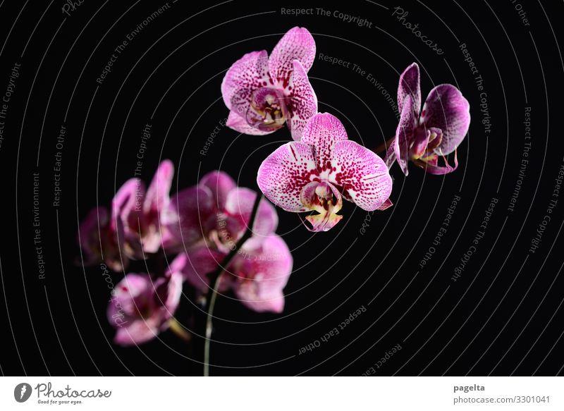 purpurne Orchidee Natur Pflanze Blume Blüte exotisch Blühend verblüht Häusliches Leben elegant rot schwarz Gefühle Stimmung Frühlingsgefühle Kraft Vertrauen