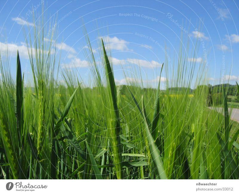 Wachstum Leben Wiese Frühling Feld Getreide Reifezeit
