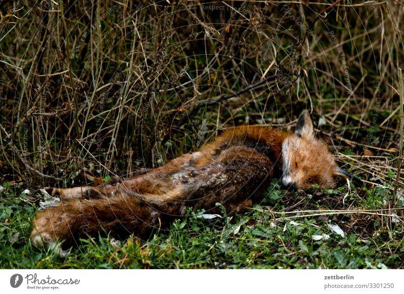 Rotfuchs (tot) Fuchs Tier Wildtier Fell Pelztier Tod Leiche überfahren liegen Wald Park Sträucher Unterholz ausgestorben