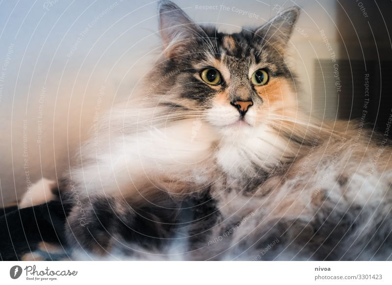 Norwegische Waldkatze Katze Tier Farbfoto Haustier Tierporträt 1 Tiergesicht Tag Blick Fell Gedeckte Farben niedlich Tierliebe Innenaufnahme