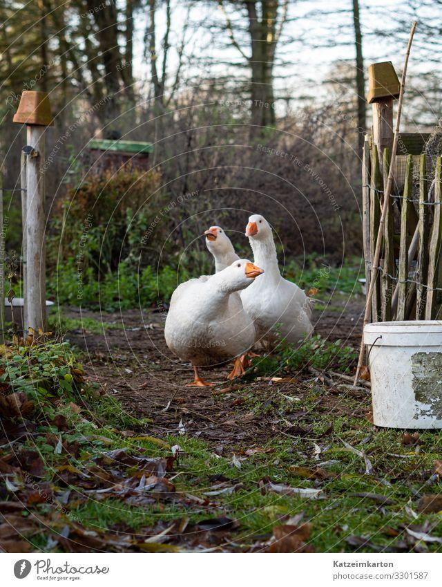 Gänsemarsch Natur Tier Lifestyle Wiese Bewegung Garten Freiheit Vogel Häusliches Leben gehen Tiergruppe authentisch Feder laufen Flügel Landwirtschaft