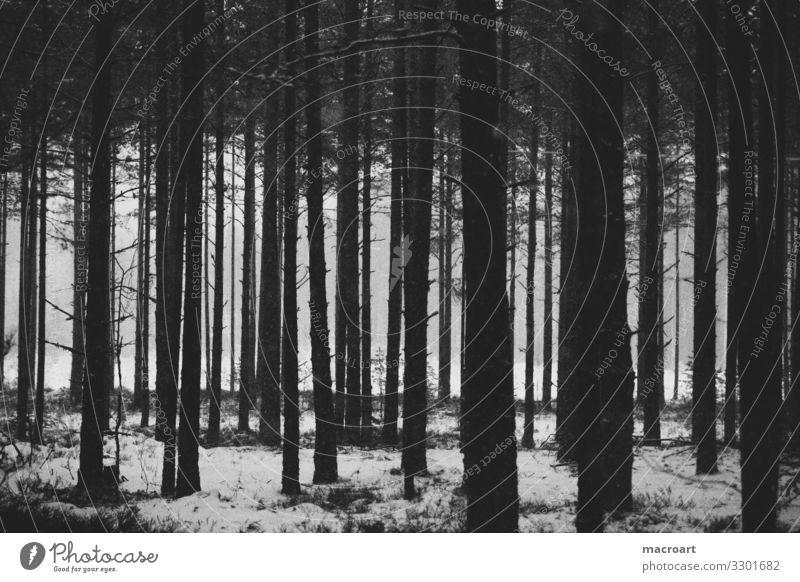 Baumstämme Baumstamm Winter kahl karg trist Schnee Schneefall Tanne nadelgehölz Nadelbaum aufforstung aufgereiht Wald gestellt künstlich wallpaper