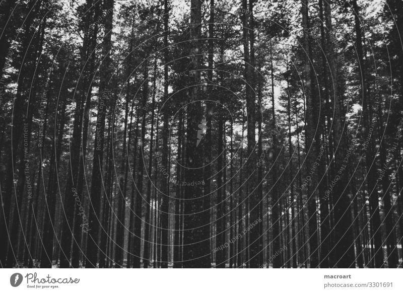 In Reih und Glied Baumstamm Winter kahl karg trist Schnee Tanne nadelgehölz Nadelbaum aufforstung aufgereiht Wald künstlich wallpaper Hintergrundbild