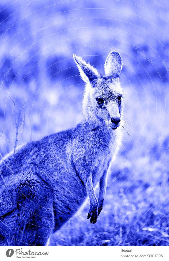 schönes Känguru in Blau , Hallenspalte Gesicht Ferien & Urlaub & Reisen Ausflug Abenteuer Freundschaft Paar Tier Wildtier 1 springen authentisch Coolness