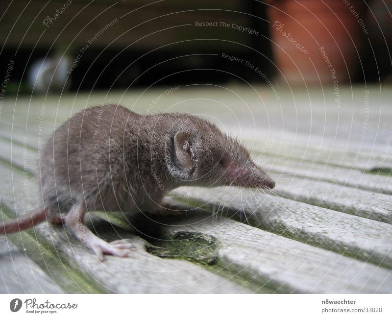 Spitzmaus 1 grau Balkon Drehung neugeboren