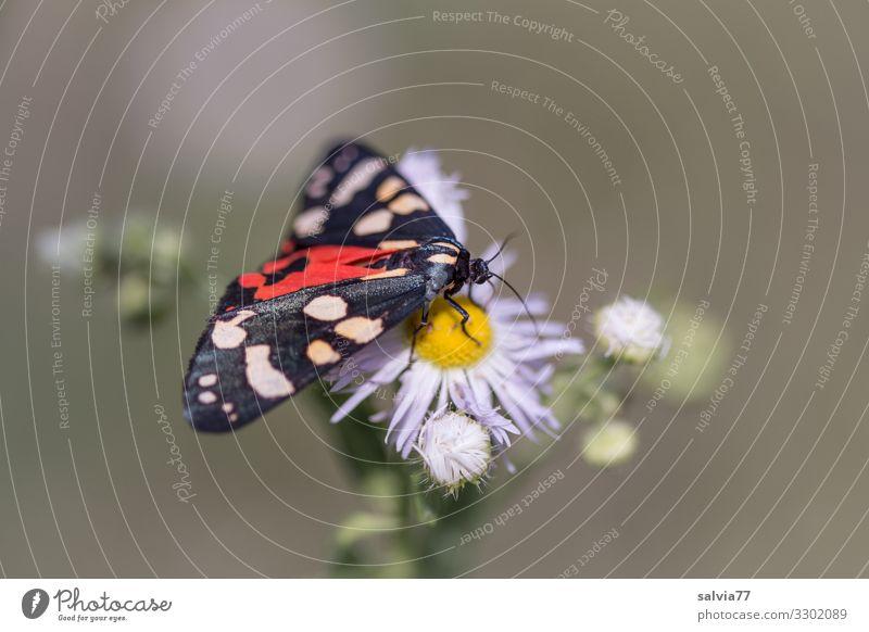 Schönbär Natur Sommer Pflanze schön Tier Essen Umwelt Blüte genießen Flügel Insekt Schmetterling Duft Motte saugen Bärenfalter