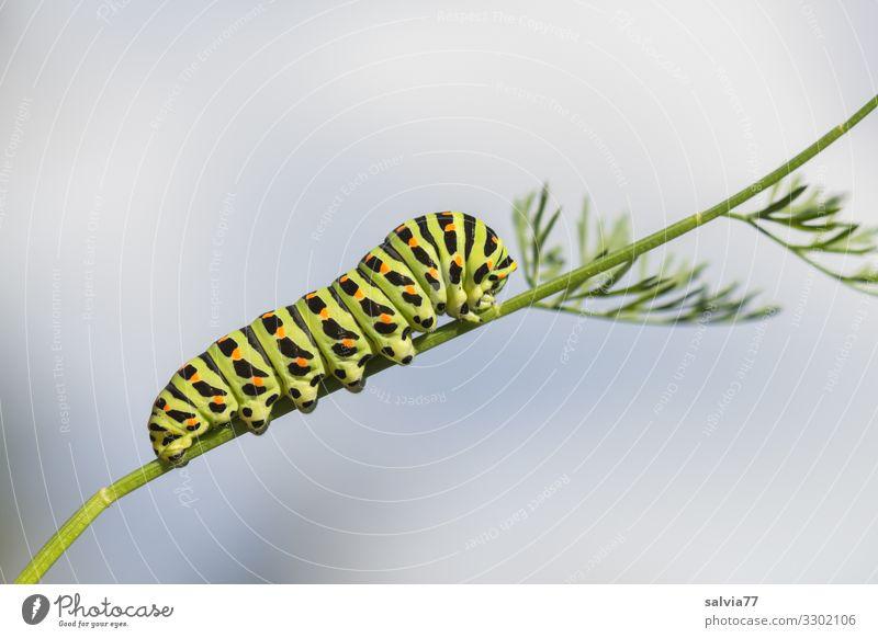 fressen und wachsen Natur Pflanze Tier Blatt Garten Wachstum Wandel & Veränderung Insekt Fressen Möhre Raupe Metamorphose Larve Schwalbenschwanz