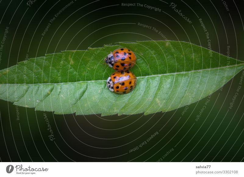 Kuschelkurs Natur Pflanze Tier Blatt Käfer Insekt Marienkäfer 2 krabbeln Liebe Partnerschaft Fürsorge gleich Glück Schutz Zufriedenheit Tierpaar Zuneigung