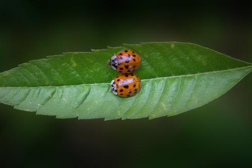 Kuschelkurs Natur Pflanze Tier Blatt Liebe Tierpaar Insekt Käfer krabbeln Marienkäfer Zuneigung