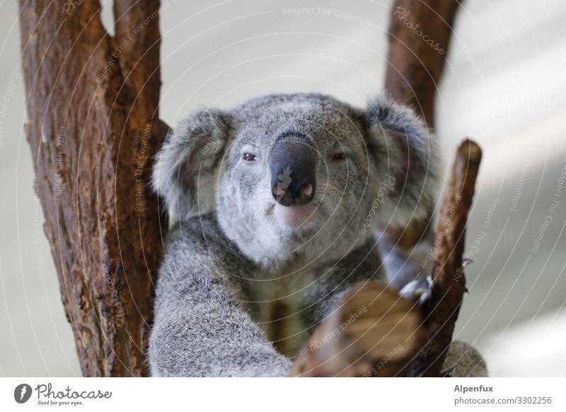 Koala Tier Wildtier 1 beobachten hängen sitzen Angst Zukunftsangst Trägheit chaotisch einzigartig Endzeitstimmung Gesellschaft (Soziologie) Hoffnung Klima