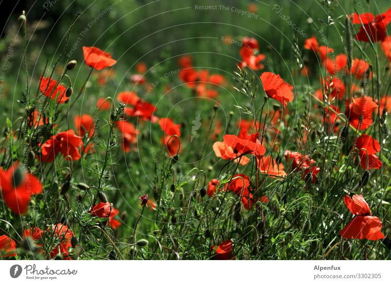 Mohn geht auch am Freitag Natur Sommer Pflanze schön Erholung Wärme Umwelt natürlich Glück Zufriedenheit Wachstum elegant ästhetisch Lebensfreude Schönes Wetter