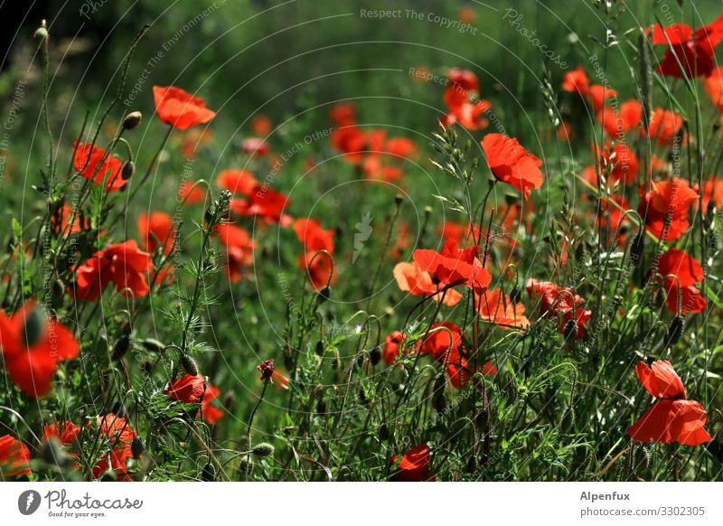 Mohn geht auch am Freitag Pflanze Sommer Schönes Wetter Wildpflanze Mohnblüte Mohnfeld Blühend Duft schön natürlich Wärme Glück Lebensfreude ästhetisch