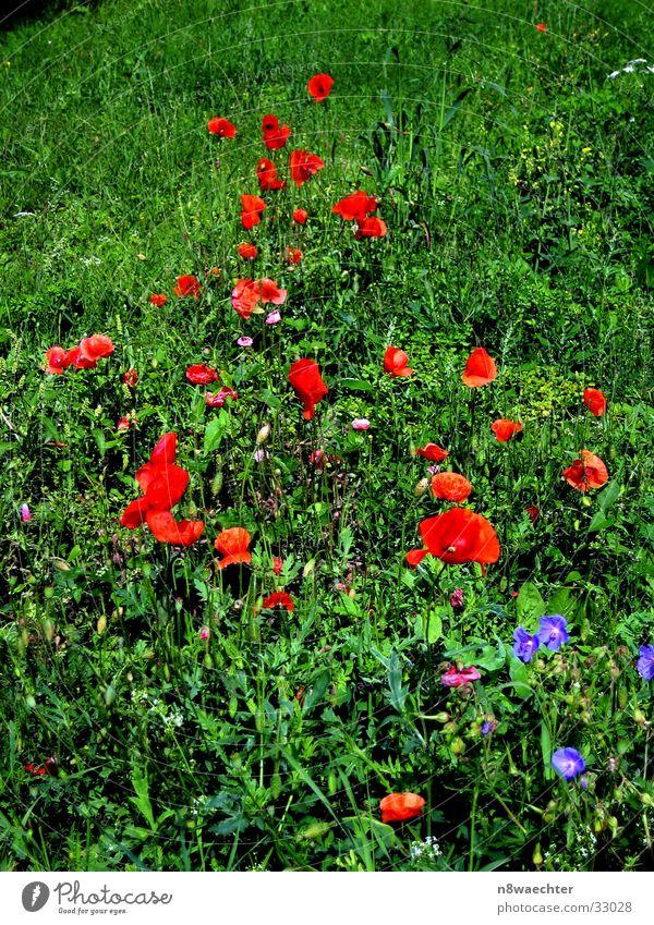 Blumenwiese grün rot Wiese Gras Mohn Unkraut