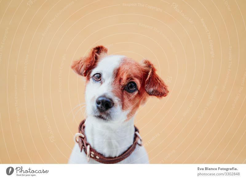 süßer Jack Russel Hund sitzend über gelbem Hintergrund Jack-Russell-Terrier Außenaufnahme Großstadt Hintergrundbild intelligent Menschenleer niedlich klein