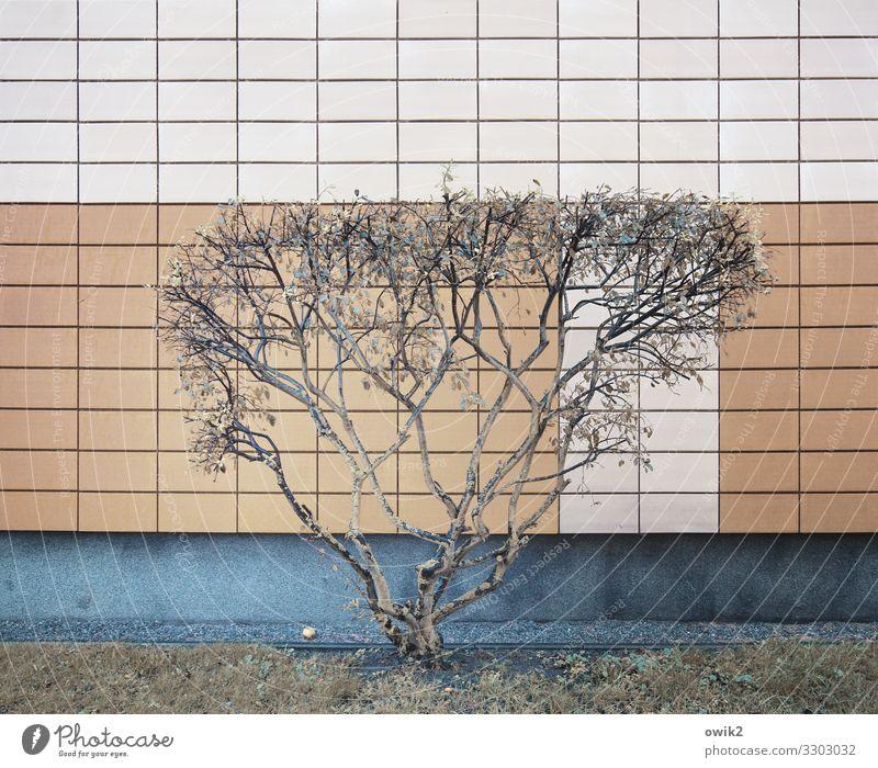 Wachstumsgrenze Baum Mauer Wand Fassade Fliesen u. Kacheln eckig einfach modern Zweige u. Äste Farbfoto Gedeckte Farben Außenaufnahme Detailaufnahme Muster