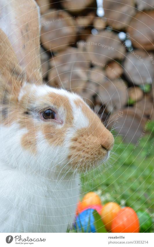 Osterhase bei der Arbeit - Nahaufnahme eines Hasen mit bunten Eiern im Hintergrund Ostern Tier Gras Garten Fell Haustier 1 Arbeit & Erwerbstätigkeit warten